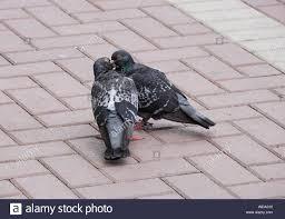 <b>Pigeons Kissing</b>