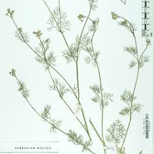Bifora radians (wild bishop): Go Botany