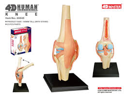 4D Master Human knee model <b>Anatomy model of</b> human organs ...