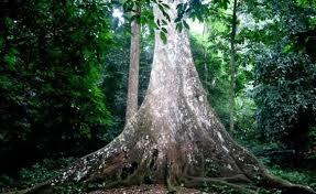Cây Trò ngàn năm - rừng Quốc gia Cúc Phương
