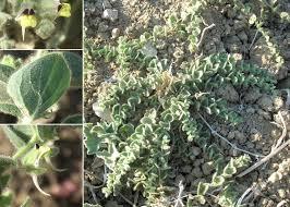 Kickxia spuria (L.) Dumort. subsp. spuria - Sistema informativo sulla ...