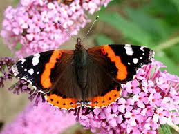 Risultati immagini per farfalla vanessa io