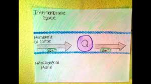 bio 201 modeling project the electron transport chain and bio 201 modeling project the electron transport chain and oxidative phosphorylation