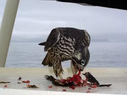 Image result for The Peregrine Falcon Falcoperegrinus