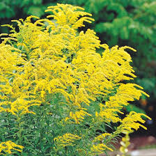 Image result for tall goldenrod