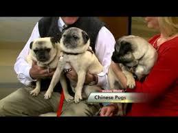 Meet the <b>Chinese Pug</b> - YouTube