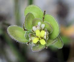 Biscutella didyma subsp. didyma (Buckler Mustard ...
