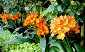 clivia plants brisbane office plants