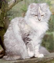 Bildergebnis für weiß graue katze