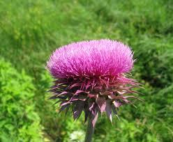 Carduus nutans - Michigan Flora