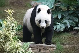Giant <b>panda</b> - Wikipedia