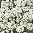 Images & Illustrations of alyssum