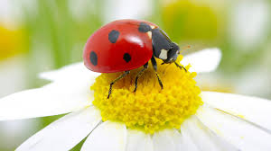 <b>Ladybug</b> facts and photos
