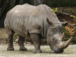 Les derniers rhinocéros d'Afrique menacés ..... Images?q=tbn:ANd9GcQC8-K20pqdZs_R7SVNYhtZNGZvUW6ipFkUUYbpM8LrklhOO3gJBw