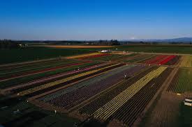 Wooden Shoe <b>Tulip</b> Farm - <b>Tulip</b> & Daffodil Bulbs + Annual <b>Tulip</b> ...