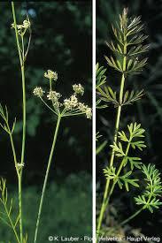 Peucedanum carvifolia Vill.