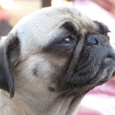 The most beautiful <b>pug dog</b> in the world!!! | Mops