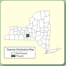 Trifolium pannonicum - Species Page - NYFA: New York Flora Atlas