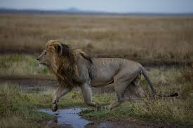 why new u s protections for lions matter picture of a male lion in the serengeti