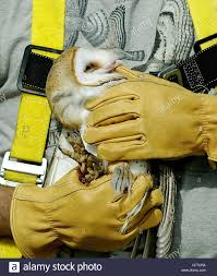 010507 tc met 5of7 owl meghan mccarthy the palm beach post 010507 tc met 5of7 owl meghan mccarthy the palm beach post 0031999a clo palm city a young barn owl holds onto the thumb of treasure coast wildlife