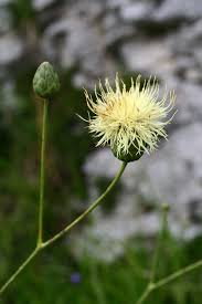 Rhaponticoides alpina - Wikipedia
