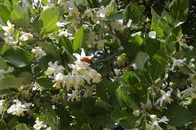 Styrax officinalis - Wikipedia