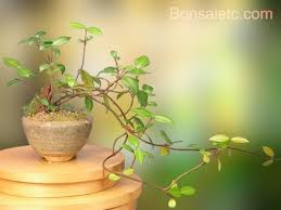 amazoncom jasmine bonsai gift great for indoors bonsai plants grocery gourmet food bonsai tree office