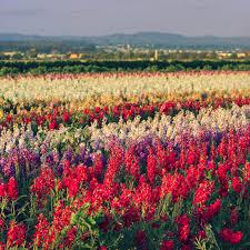 <b>Flower Fields</b> - Lompoc California