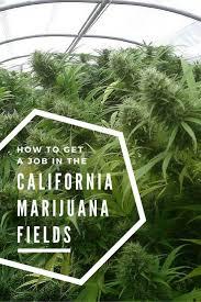 how to get a job in the california marijuana fields the holidaze how to get a job in the california cannabis business