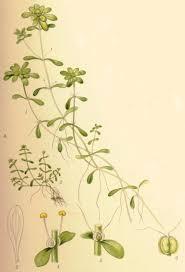 Callitriche stagnalis - Wikipedia