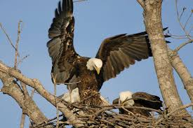Image result for BALD EAGLES NEST PHOTOS