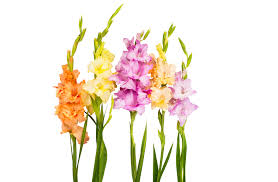 Image result for gladiolus