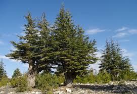 Cedro-do-líbano