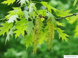 Image result for oak flower