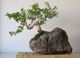 bonsai tree for home garden and office bonsai tree office