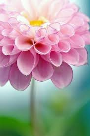 <b>Георгин</b> | Цветы, Красивые цветы, <b>Георгины</b>