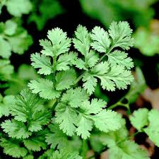 Image result for picture of cilantro leaves free