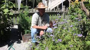 Phacelia tanacetifolia for organic gardening - YouTube