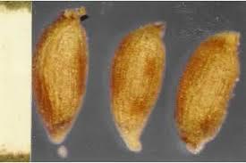Plants Profile for Juncus arcticus littoralis (mountain rush)