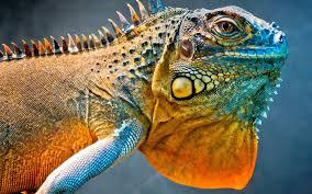 chameleon,bunglon