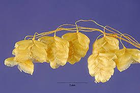 Plants Profile for Briza media (perennial quakinggrass)