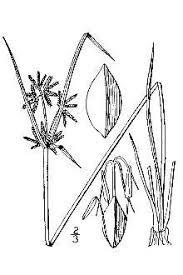 Plants Profile for Cyperus fuscus (brown flatsedge)