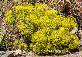 Euphorbia Seguieriana — SLO Botanical Garden