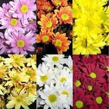 <b>Daisy</b> Assorted <b>Colors Flower</b>