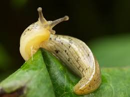 Image result for banana slug image