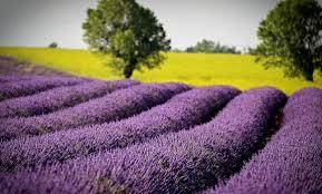 <b>Lavender</b> in Provence | www.theluberon.com