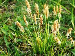 Carex caryophyllea - Wikipedia