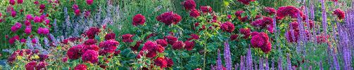 <b>Red Roses</b> - David Austin Roses