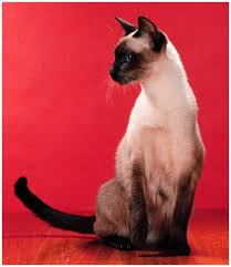 Typical Siamese cat