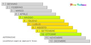 Leucanthemum vulgare var. asperulum [Margherita ispidetta] - Flora ...
